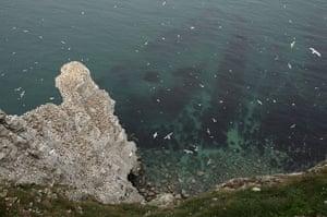 Gannet Colony: at the RSPB's Bempton Cliffs