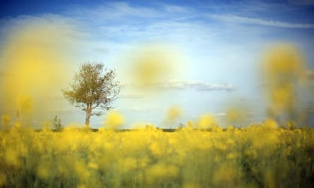 Rapeseed In Bloom Shows Early Signs Of Summer