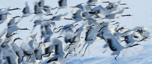 Disappearing world: Japanese cranes in flight during winter.
