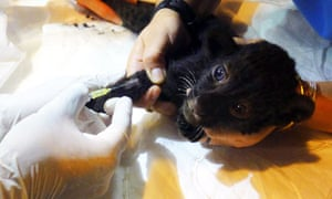 A Thai vet treats a panther cub rescued from the luggage of a suspected wildlife trafficker