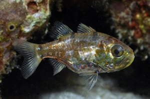 New Species in Bali: New species Siphamia new cardinalfish
