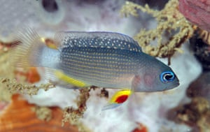 New Species in Bali: Manonichthys juvenile new dottyback