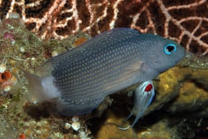 New Species in Bali: Manonichthys adult new dottyback