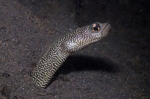New Species in Bali: Heteroconger new garden eel