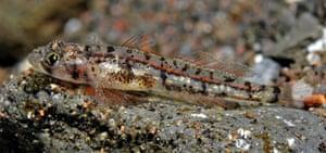 New Species in Bali: Grallenia new goby