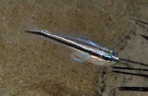 New Species in Bali: Apogon new cardinalfish