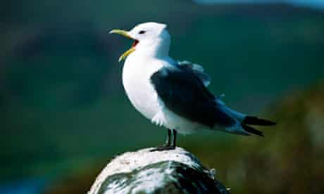 Kittiwake gull