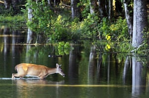 Mississippi floods: Deer wades through water in the Atchafalaya River