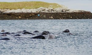 Pilot whales in the outer Hebrides