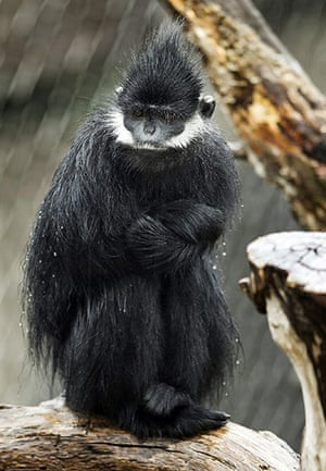 24 hours: Omaha, Nebraska, US: A wet gibbon huddles in the rain at Henry Doorly Zoo
