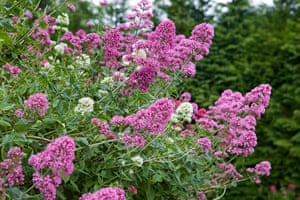 Flower Show Planting: Red Valerian with pink flowers Centranthus ruber