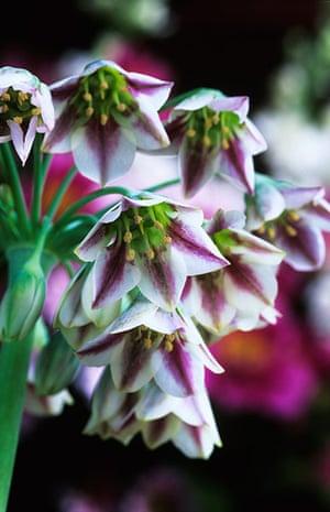 Flower Show Planting: Nectaroscordum siculum