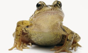 common-frog-in-close-up
