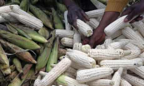 Maize crops