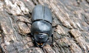 stag-beetle-on-wood
