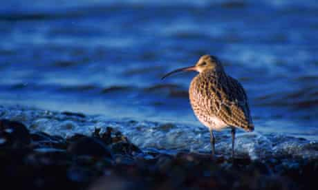 Curlew-by-the-water's edge