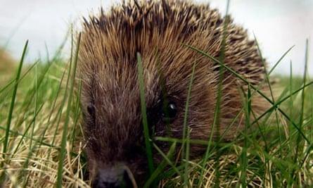 ANIMALS Hedgehogs 5