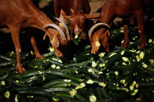 24 hours in pictures: Goats eat discarded cucumbers at a farm in Algarrobo, Spain