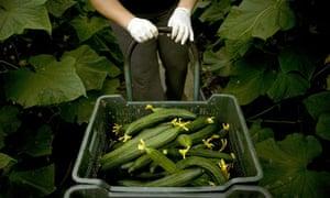 Cucumber grower