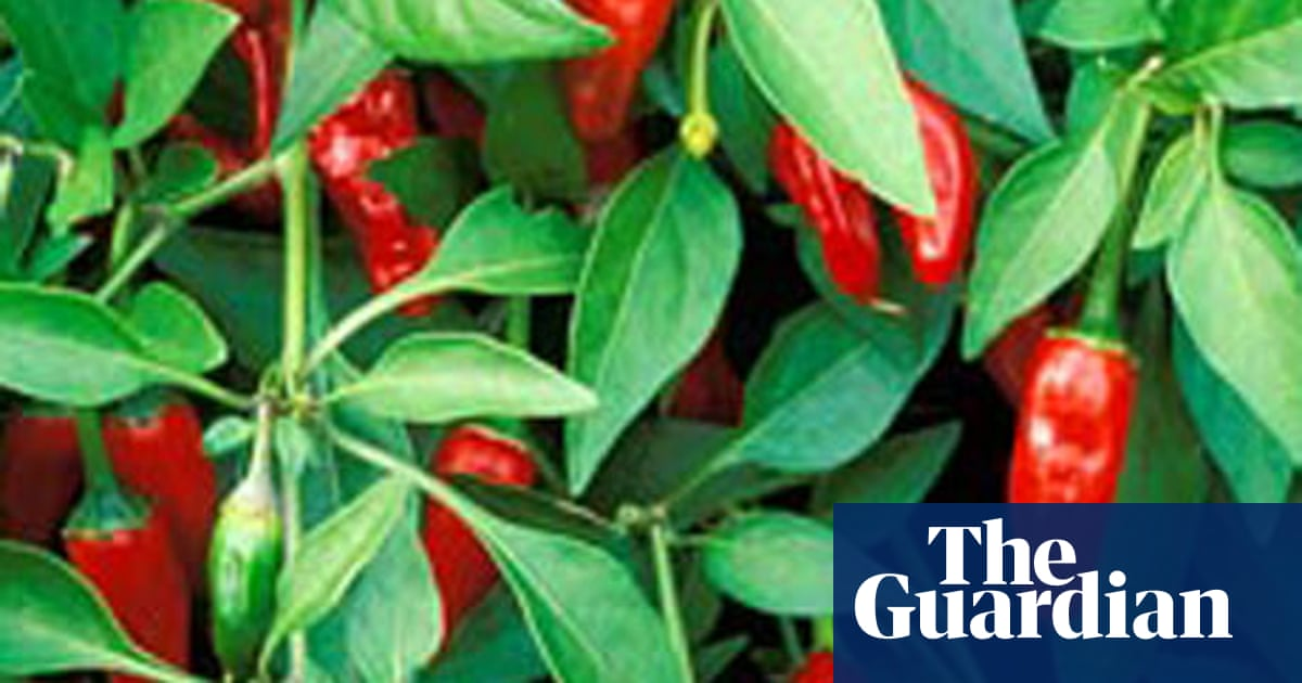 How to grow chillies   Life and style   The Guardian