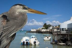 Galapagos : galapagos heron