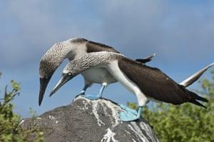 Galapagos : galapagos booby courtship