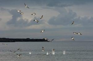 Galapagos : galapagos booby diving