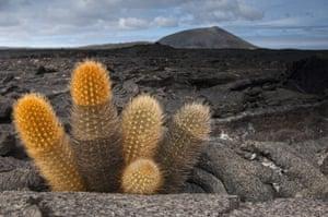 Galapagos : galapagos cactus