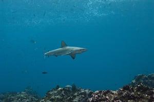 Galapagos : galapagos shark