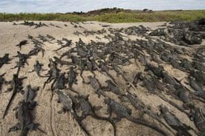 Galapagos : galapagos marien iguanas