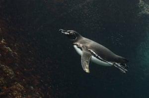 Galapagos : galapagos penguin