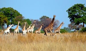 Okavango Delta - Giraffes