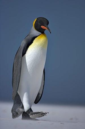 King Penguin Colony: King Penguin colony on South Georgia