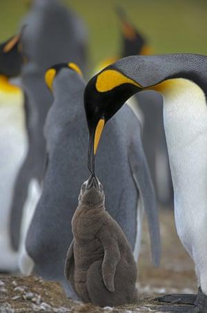 King Penguin Colony: King Penguin colony in South Georgia