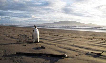Emperor Penguin arrives in New Zealand