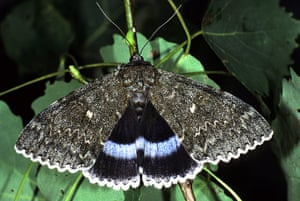 Top 10 moths: Clifden Nonpareil