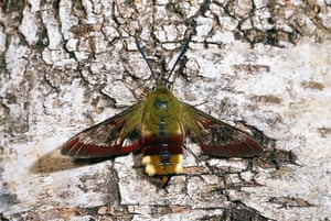 Top 10 moths: Hummingbird Hawk