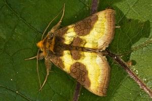 Top 10 moths: Burnished Brass