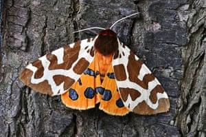 Top 10 moths: Tiger Moth