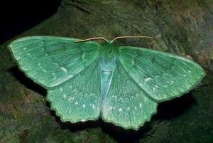 Top 10 moths: Large Emerald Moth