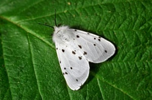 Top 10 moths: White Ermine