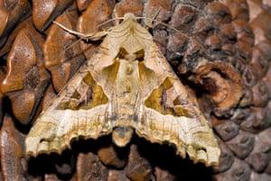 Top 10 moths: Angle Shades moth (Phlogophora meticulosa)
