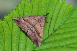 Top 10 moths: The Snout Hypena proboscidalis