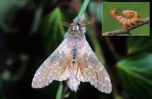 Top 10 moths: Lobster Moth (Stauropus fagi)