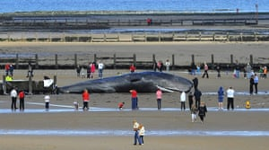 Week in wildlife: A 44 foot long dead sperm whale is seen washed up on the beach at Redcar
