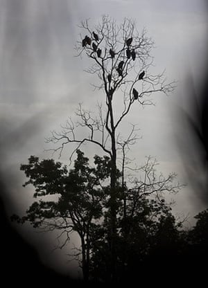 Week in wildlife: vultures rest in a tree near Dangplat, Cambodia
