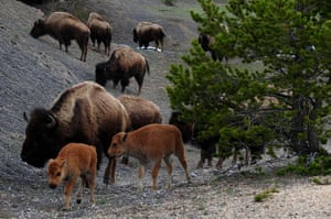 Week in wildlife: American Bison (also known as Buffalo) at Yellowstone National Park
