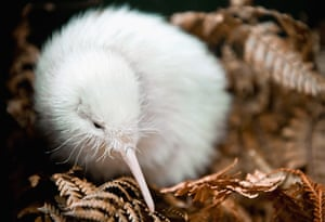 Week in wildlife: Rare Kiwi Chick Moves Into Outdoor Enclosure
