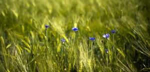 Week in wildlife: Blue cornflowers