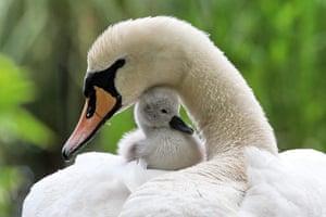 Week in wildlife: Swan offspring in Hamburg